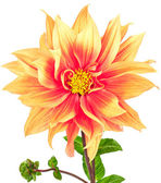 Dahlia, orange, yellow colored flower with stem and bud — Stock Photo