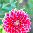 Dahlia, pink colored flower with stem on floral background — Stock Photo #59218825
