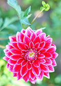 Dahlia, pink colored flower with stem on floral background — Stock Photo