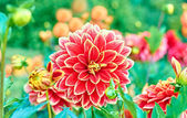 Dahlia, orange colored spring flower on floral background — Stock Photo