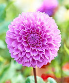Dahlia, purple spring flower with stem on floral background — Stockfoto