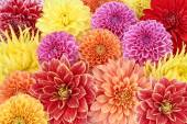 Different types of dahlias. Colorful floral summer background — Stock Photo