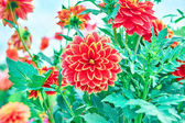 Dahlias, orange colored flowers on floral background — Stock Photo