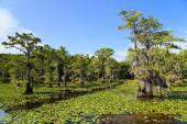 Cypress trees at Caddo Lake, Texas — Stock Photo
