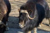 Muskoxen — Stock Photo