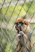 Caged monkey — Stock Photo
