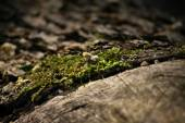 Moss on an old wooden log — Stock Photo