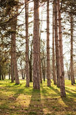 Pine tree park — Stock Photo