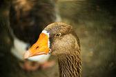 Duck face — Stock Photo