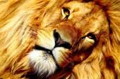 Lion Dreamer — Stock Photo