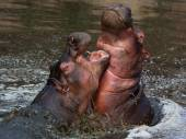 Furious duel Hippos — Stock Photo