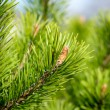 Close-up pine branch, green natural background — Stock Photo #73612815
