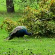 Indian peacock grazing — Stock Video #59085237