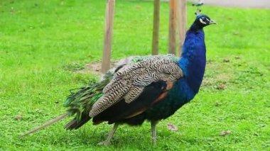 Peacock posing to camera — Stock Video