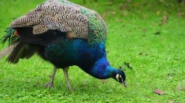 Peacock eating grass — Stockvideo