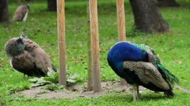 Peafowl family cleaning feathers — Stockvideo