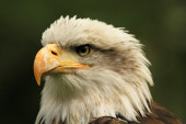 Bald Eagle — Foto de Stock