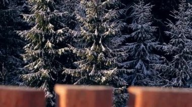 Fabulous spruces in the snow. — Vídeo de Stock