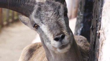 Chewing goat in tibetan vilage. — Stock Video