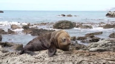 Seal lying oceanfront — Stock Video