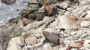 Three seals climb on the rocks — Stock Video