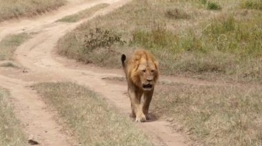 Lion walking on the footpath, Kenya — Vídeo stock
