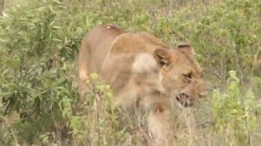 Lioness walking in the grass, Kenya — Stock Video
