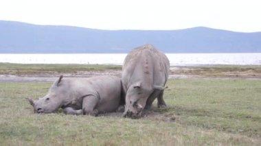 Courtship games of rhinos, Kenya — Stock Video
