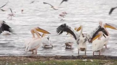 Pelicans on the coast, Kenya — Stock Video