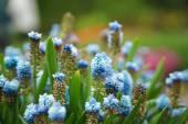 Fades muscari in May — Stok fotoğraf