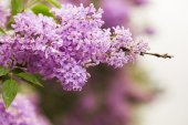 Blooming lilacs in May — Stock Photo