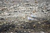 スピッツ、スバールバル諸島、ノルウェーで北極鳥 (リトル ウミスズメ. — ストック写真