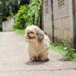 Cute Shih tzu dog walking on the road — Stock Photo #63845045