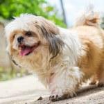 Cute Shih tzu dog walking on the road — Stock Photo #63845193