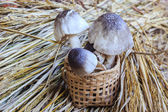 Straw mushroom — Stock Photo