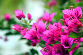 The bright bougainvillea — Stock Photo