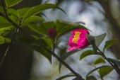 The bright camellia — Stock Photo