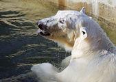 Female of polar bear — Stock Photo