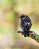 Juvenile Mountain Bluebird — Stock Photo