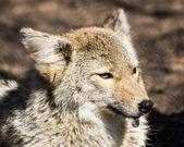 Kojote — Stockfoto
