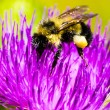 Bumble Bee on Thistle Flower — Stock Photo #58070053