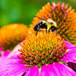 Bumble Bee on Purple Coneflower — Stock Photo #58072031