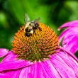 Bumble Bee on Purple Coneflower — Stock Photo #58072637