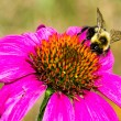 Bumble Bee on Purple Coneflower — Stock Photo #58073147