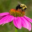 Bumble Bee on Purple Coneflower — Stock Photo #58073287