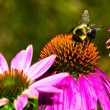 Bumble Bee on Purple Coneflower — Stock Photo #58073495