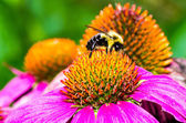 Bumble Bee on Purple Coneflower — Stock Photo