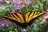 Western Tiger Swallowtail Butterfly — Stock Photo