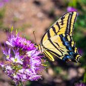 Borboleta de swallowtail ocidental do tigre — Fotografia Stock
