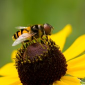American Hover Fly — Stock Photo